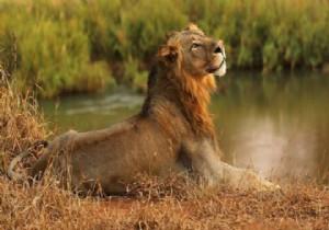 'Kaçak avcıyı' aslanlar yedi, geriye sadece kafası kaldı