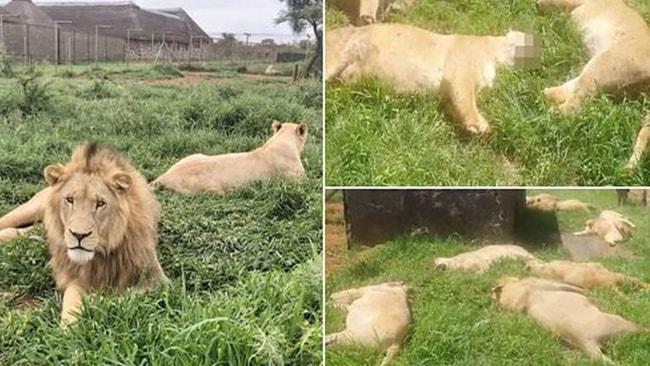 16 aslan bakın ne için katletildi!