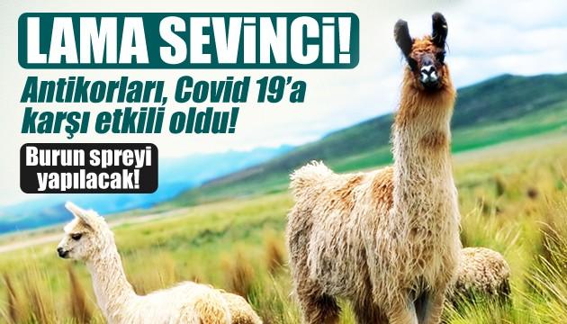 Lama, İngiltere'de koronavirüse çare oldu!